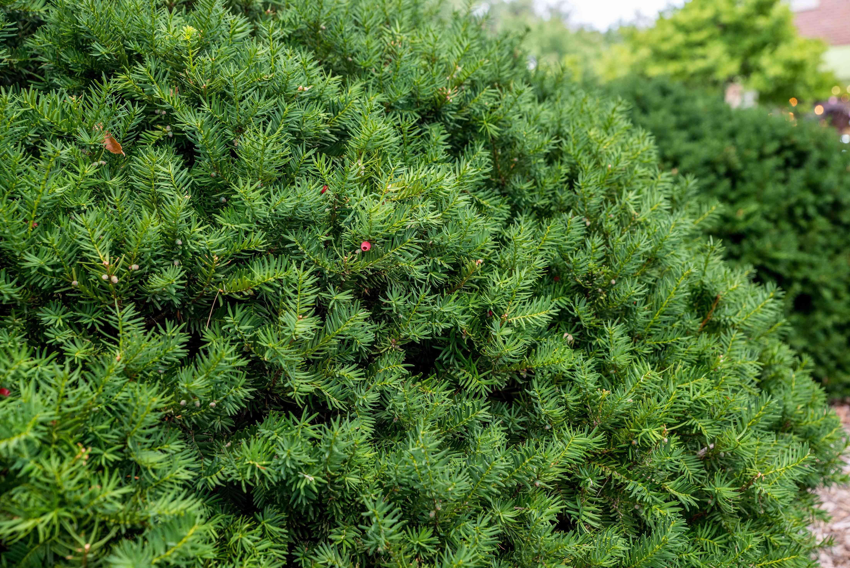 Yew shrub with small dark-green needles on short brnches