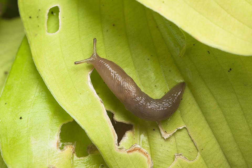Slug on damaged hosta leaf
