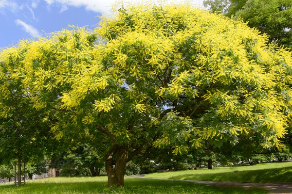 Chinese flame tree with yellow and green leaves near pathway