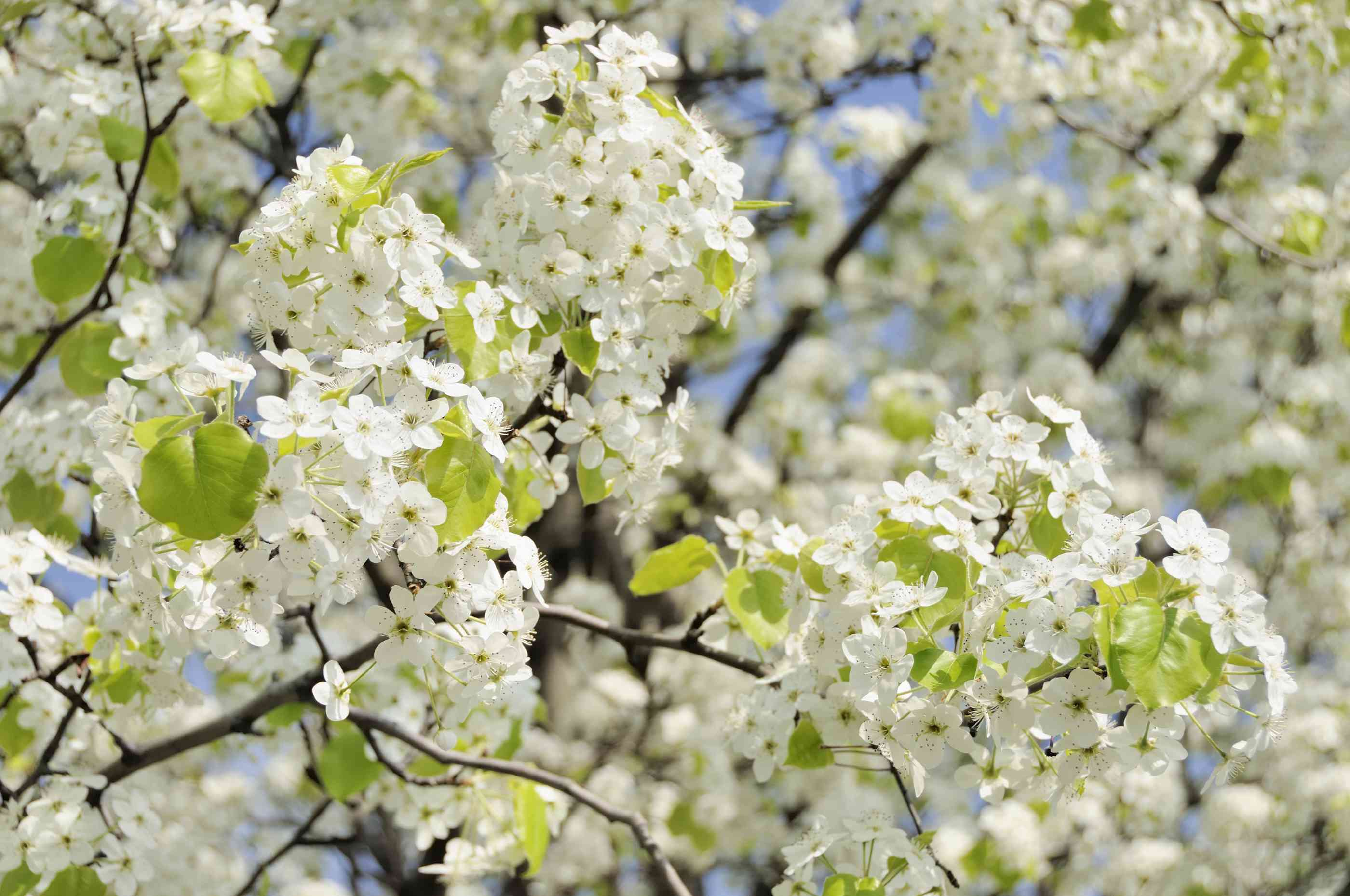 Flores blancas de peral Bradford en primavera. .