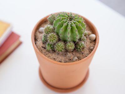 parodia cactus