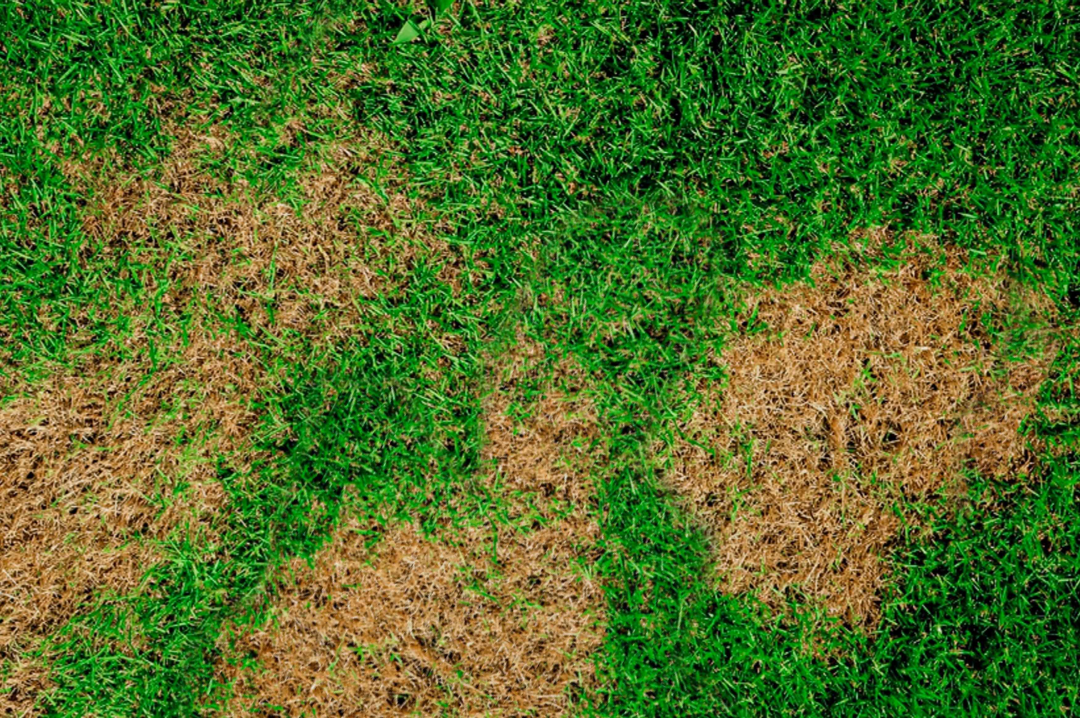 brown patch lawn disease