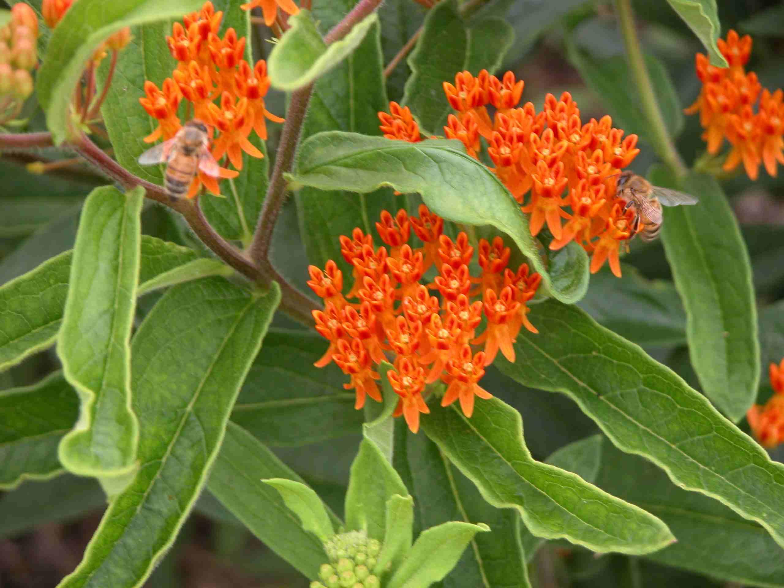 Butterfly Weed - Butterfly Garden Plants