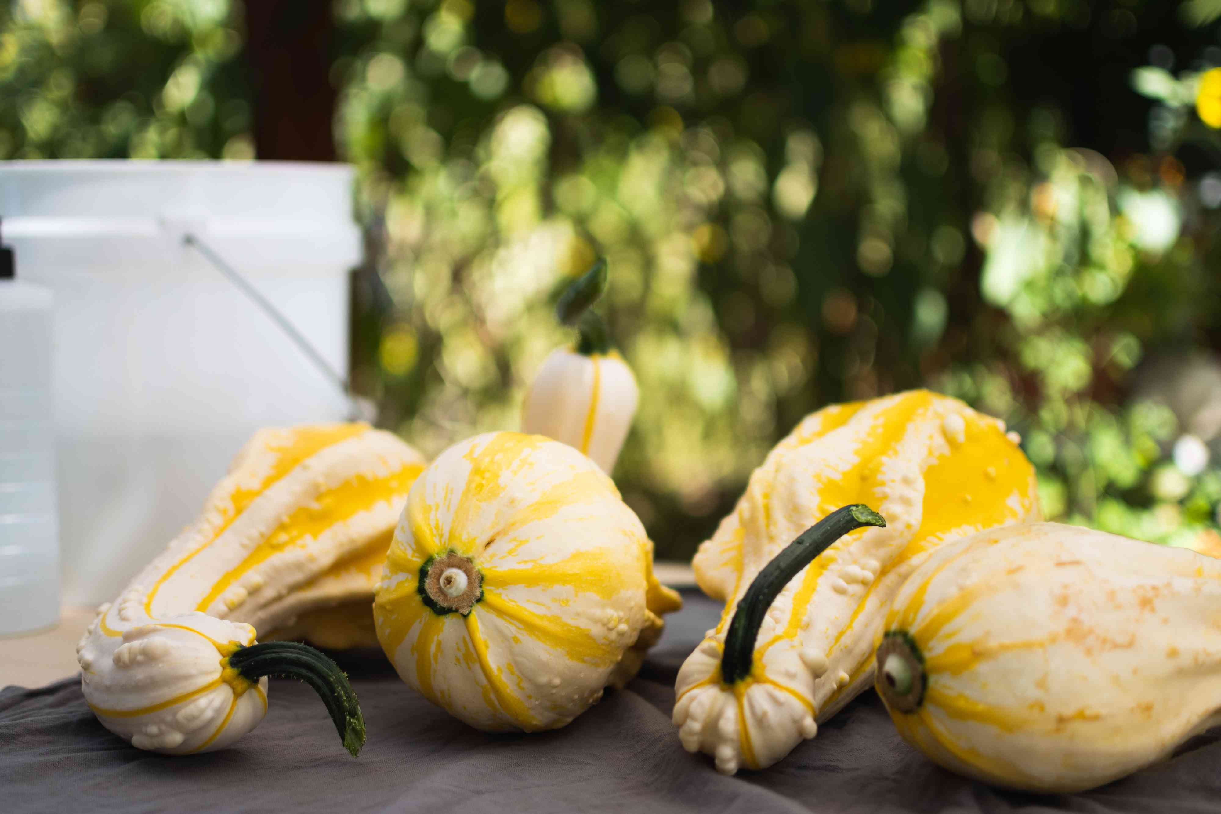 Yellow and white gourds placed outside on tabletop to dry in shade