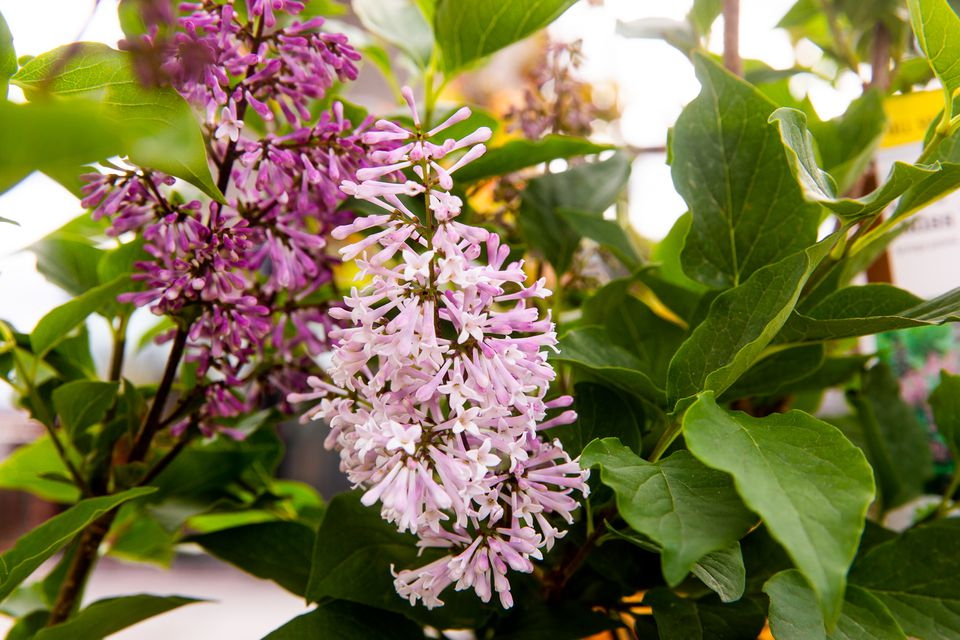 Lilac flowers with small light and dark pink tubular petals surrounded by leaves