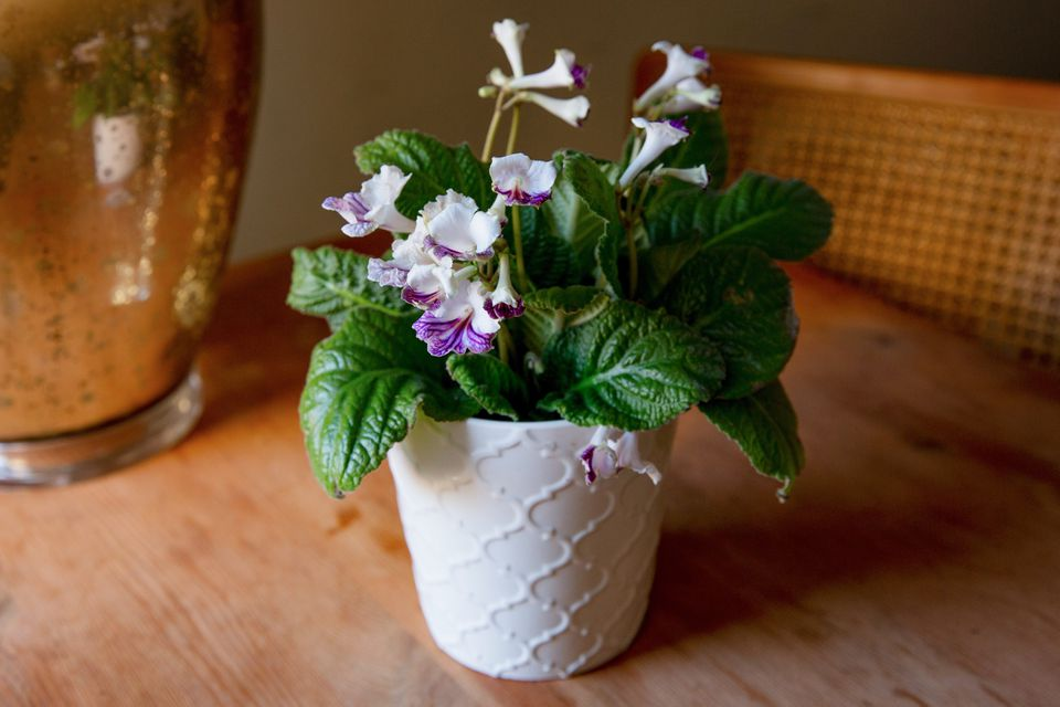 Streptocarpus plant with white and purple flowers in white pot on wooden surface