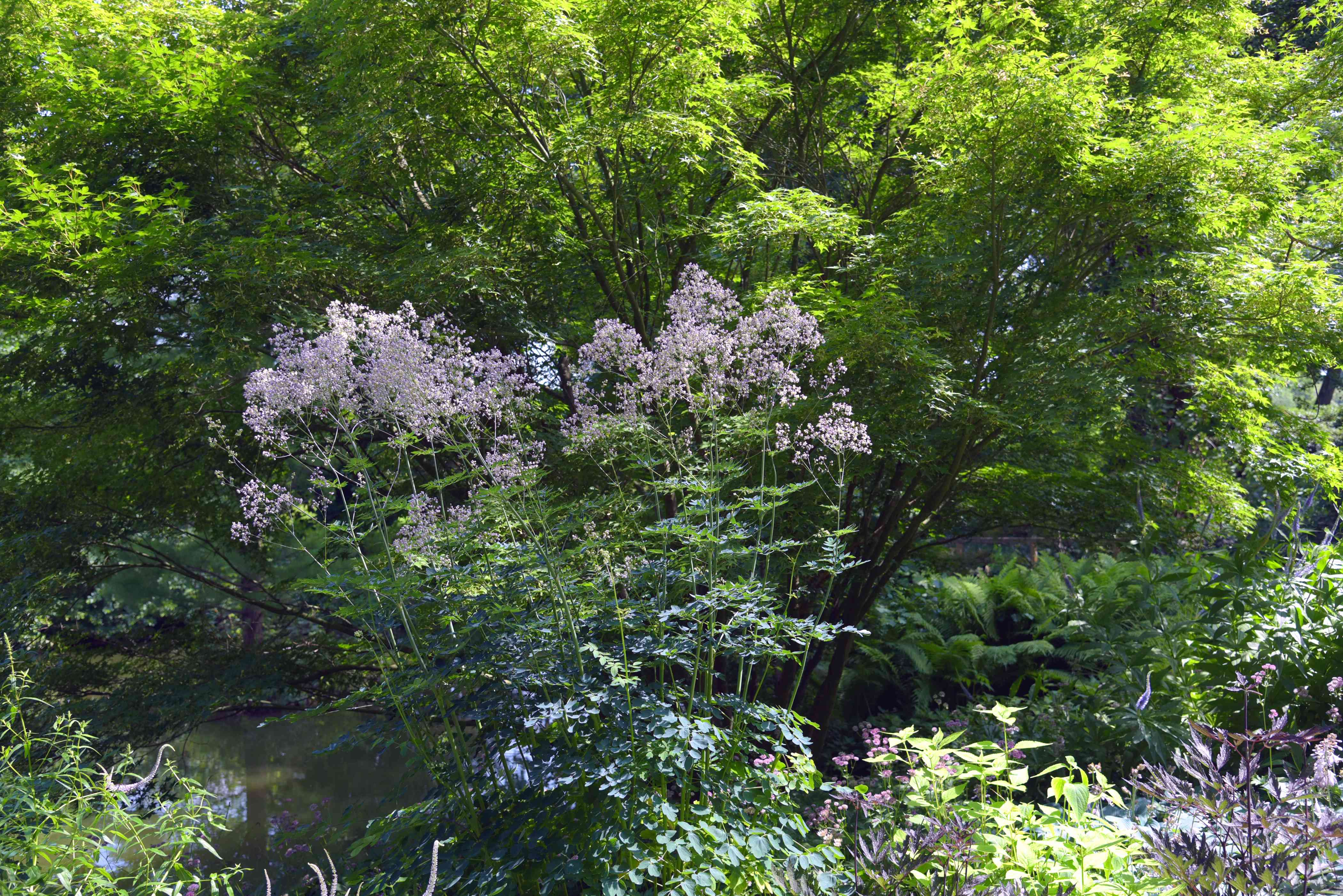 Meadow rue plant with tall thin stems and small purple flower clusters on top in middle of garden