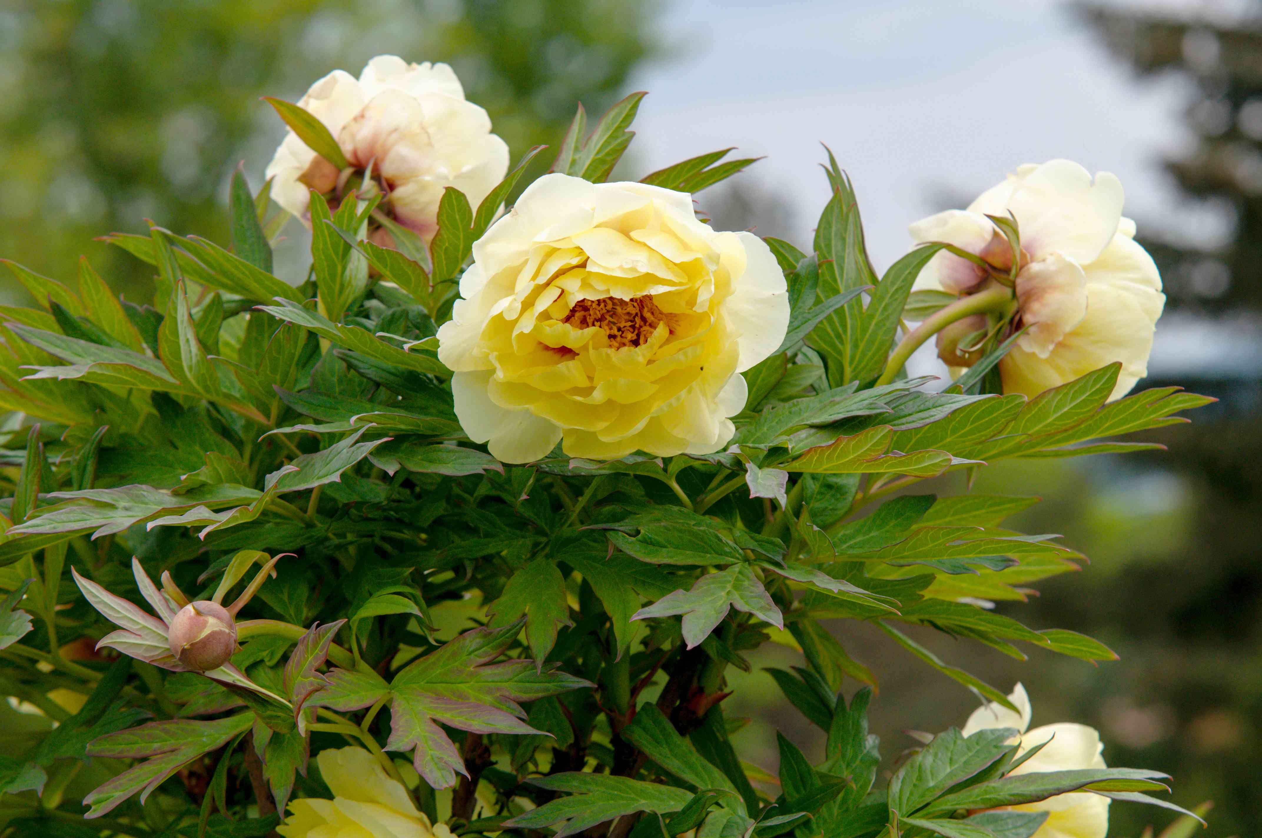 Itoh peony bush with yellow flowers and buds closeup