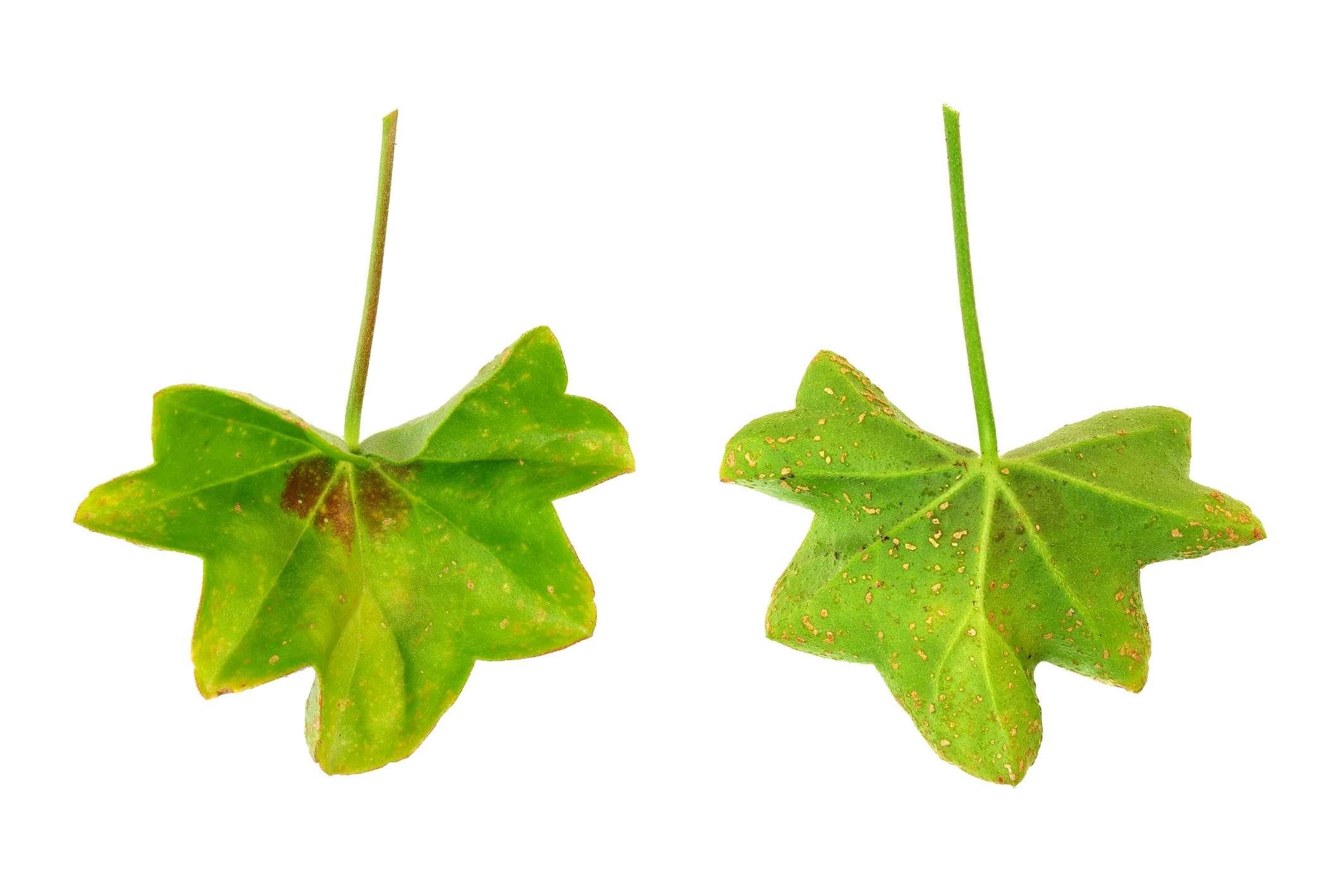 Ivy Geranium Leaf Disease