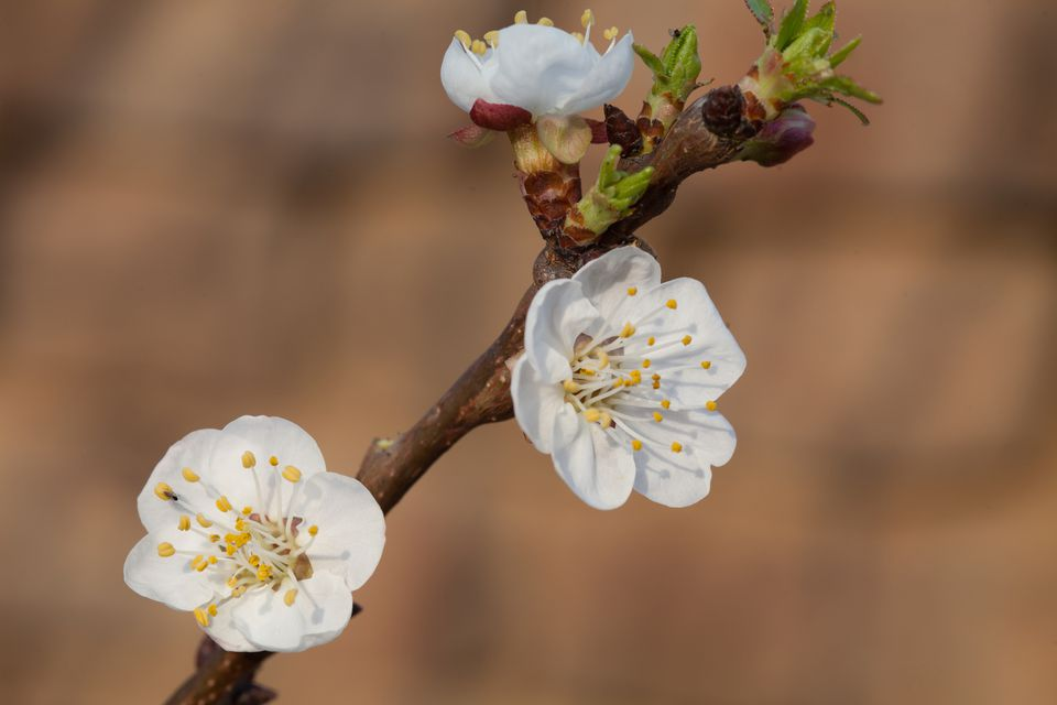 Close up of apricot blooms in the spring