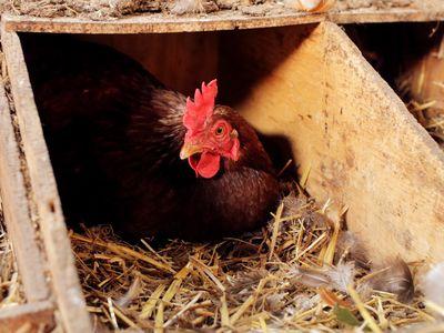 broody hen on its nest