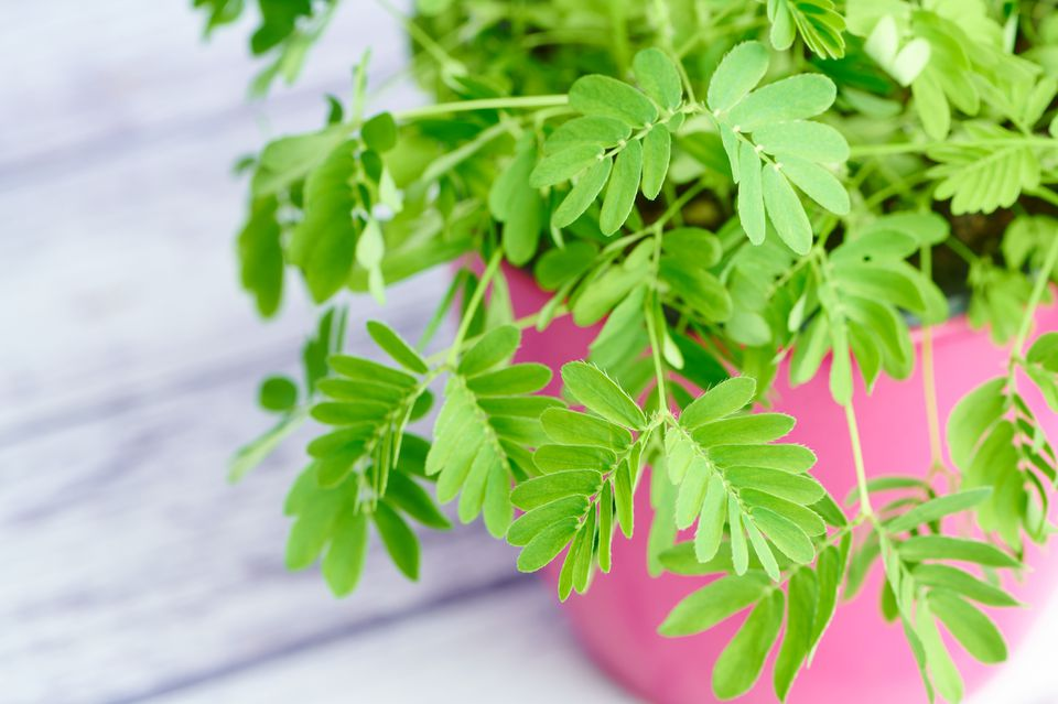 Mimosa pudica (sensitive plant) in a pink pot in front of a white wooden background
