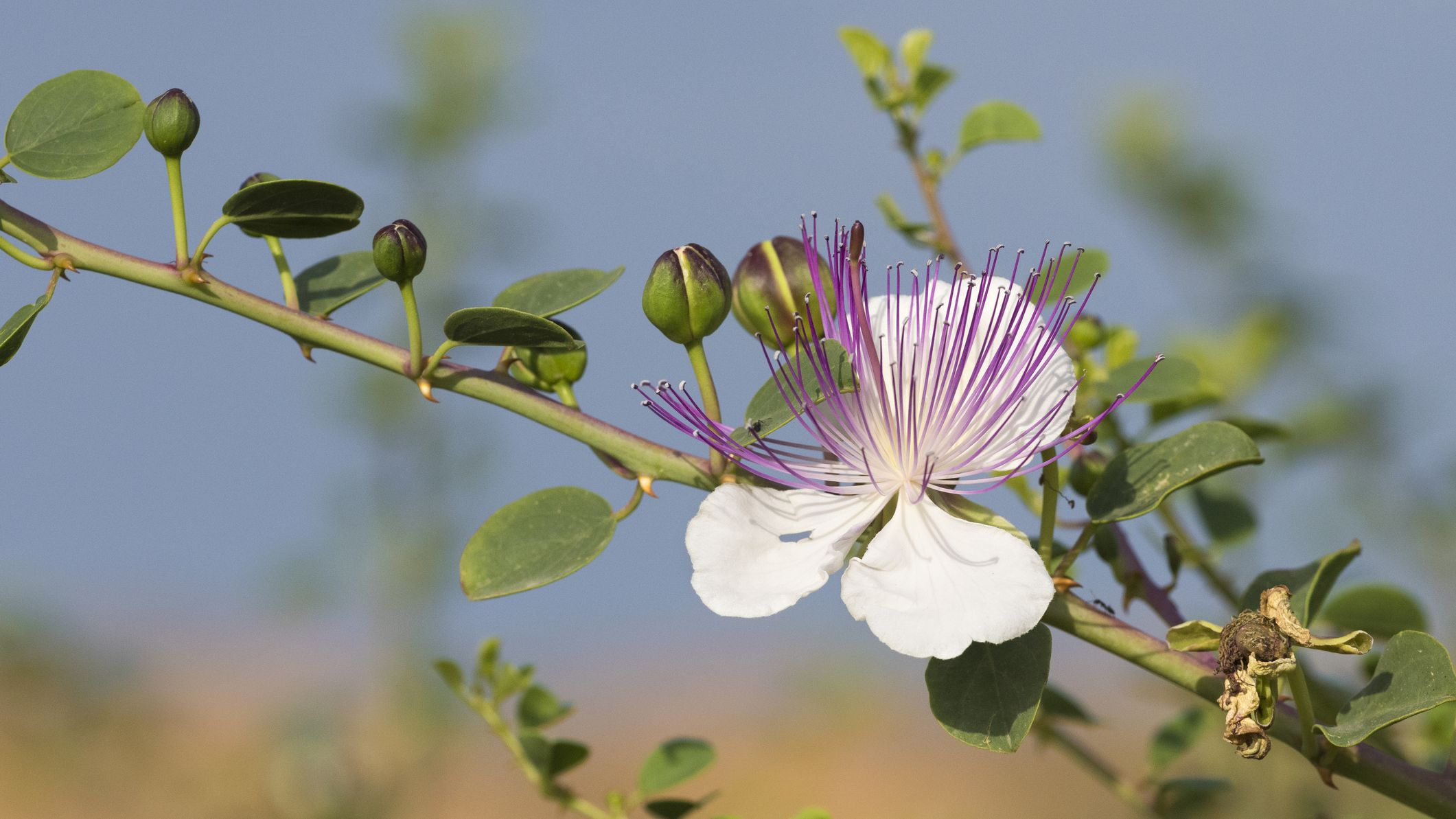 Caper Bush Care And Growing Guide,Horse Lifespan