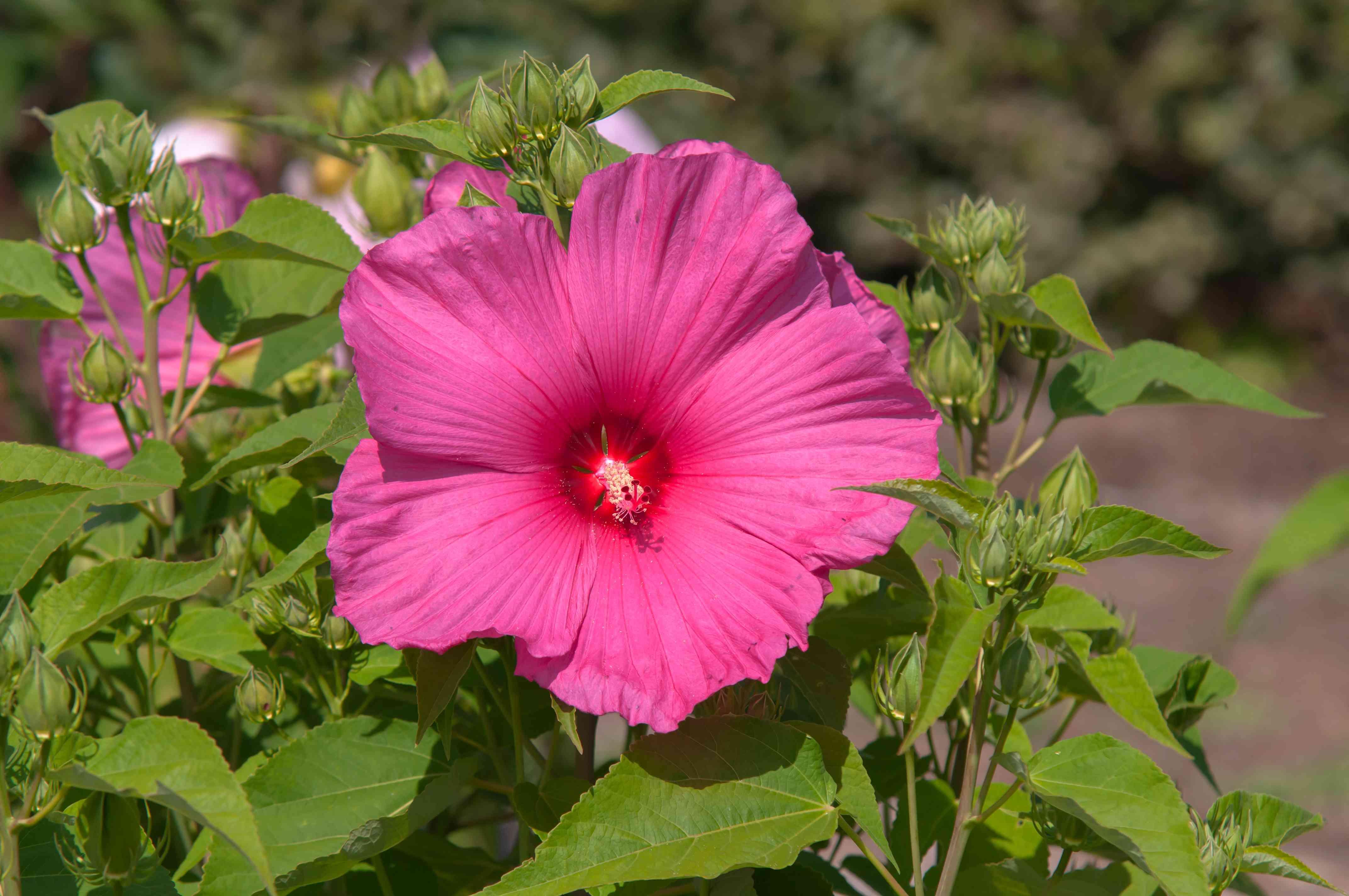 Hibiscus moscheutos plant with pink petals in sunlight