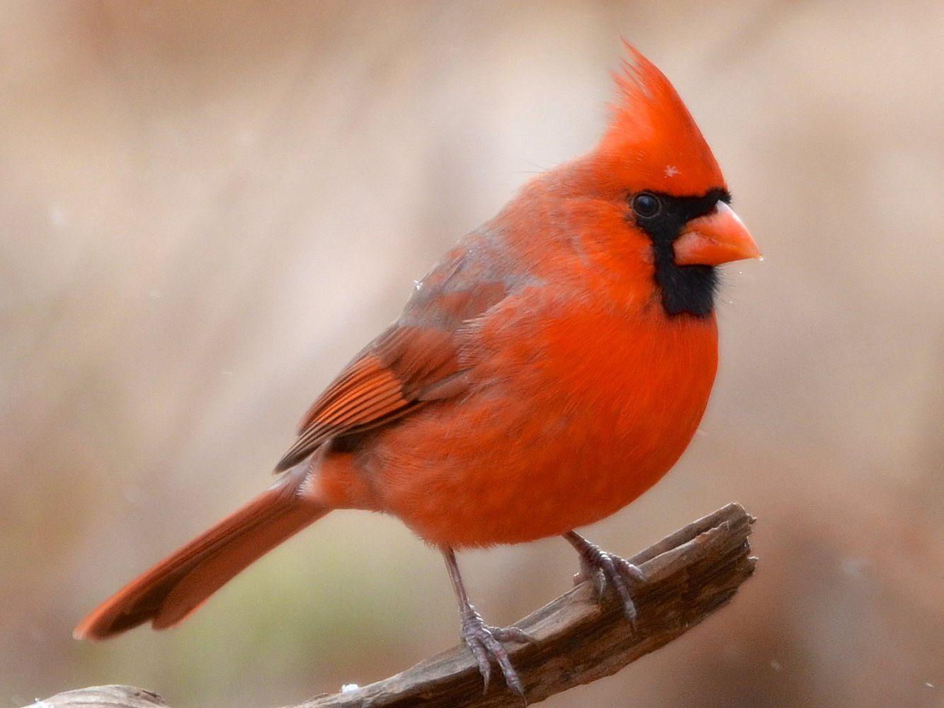 Cardinal/'s