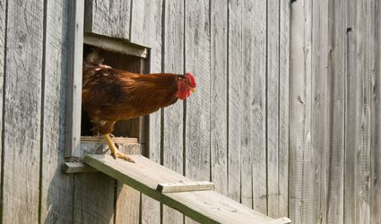 Rooster coming out of chicken coop