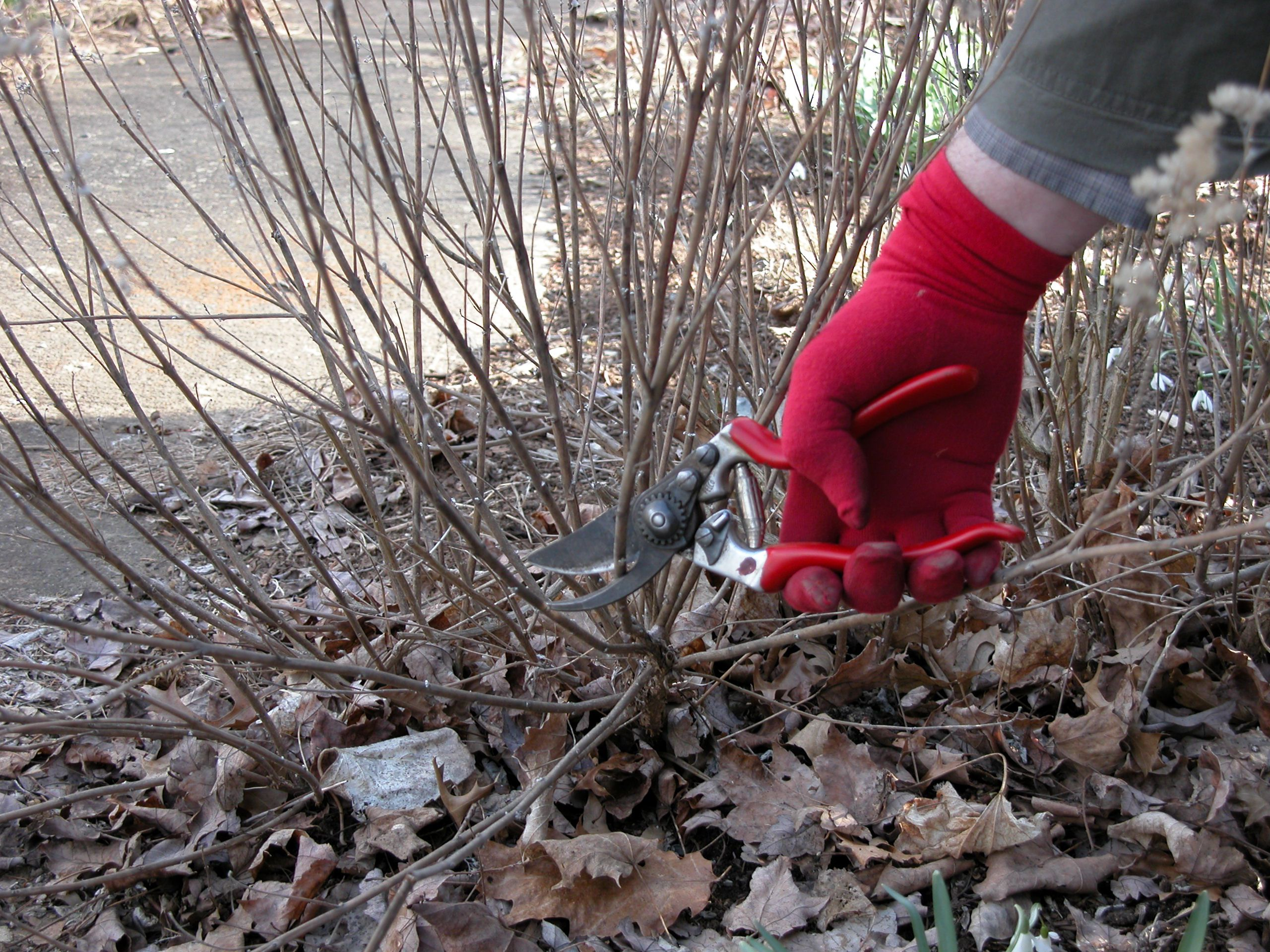 How to Prune Perennial Plants and Shrubs