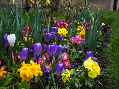 How to grow and maintain spring blooming crocus 6 tips for a better spring flower garden mightylinksfo