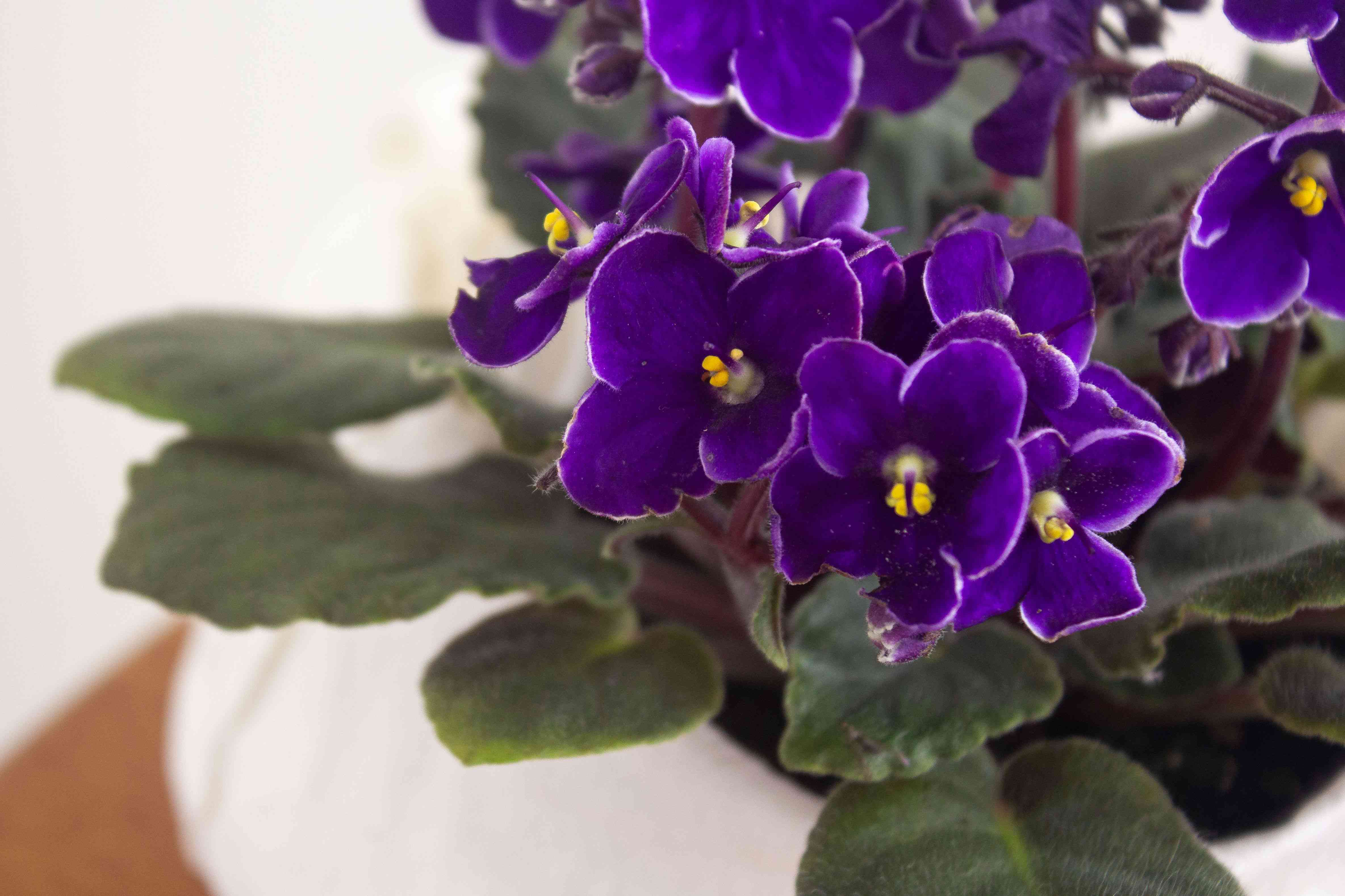 African violet houseplant with deep purple flowers and fuzzy leaves closeup