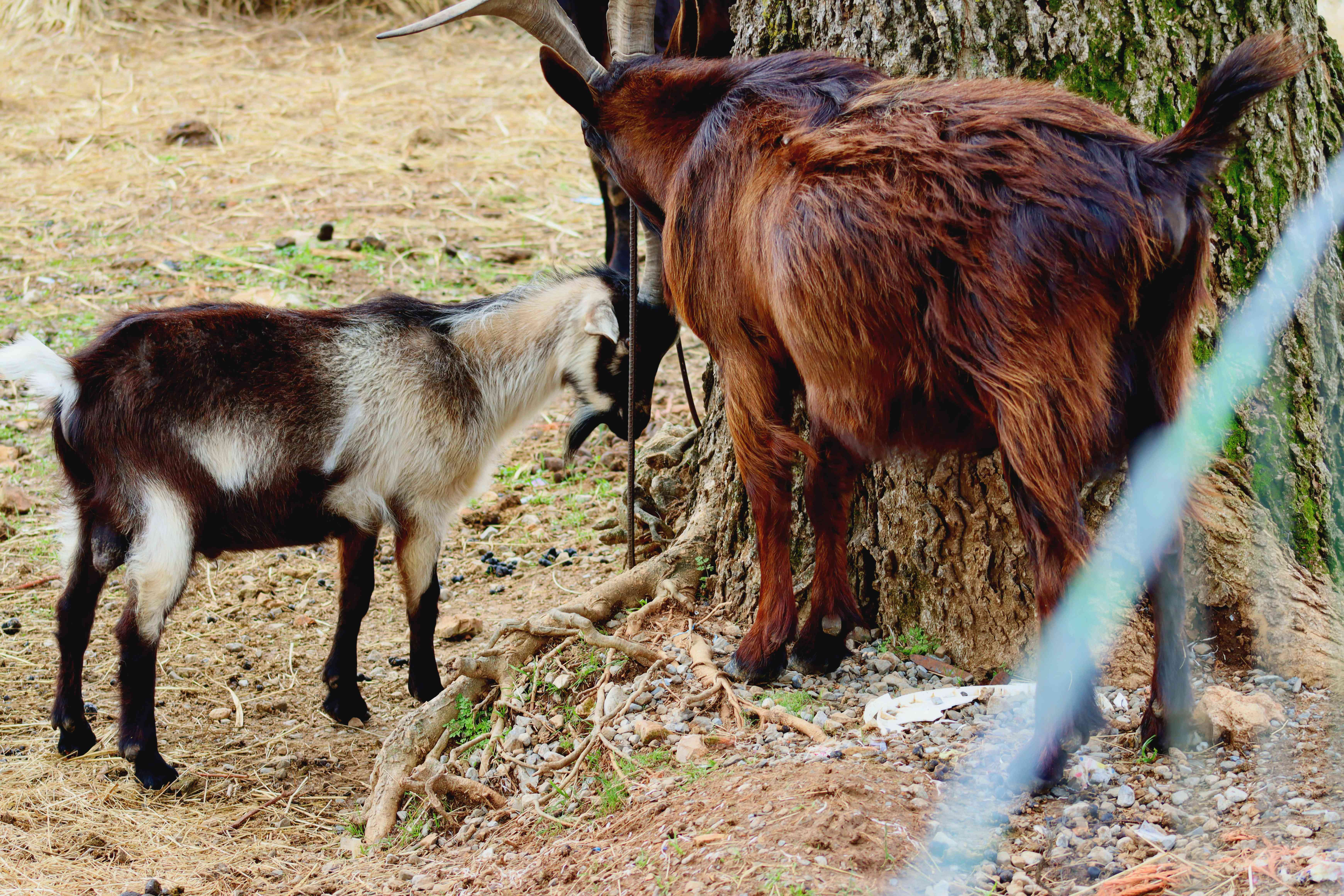 Brown and mixed color spanish goats near tree trunk
