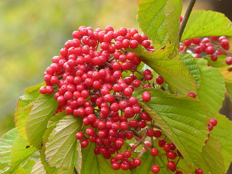 Tightly clustered red berries with light green leaves.
