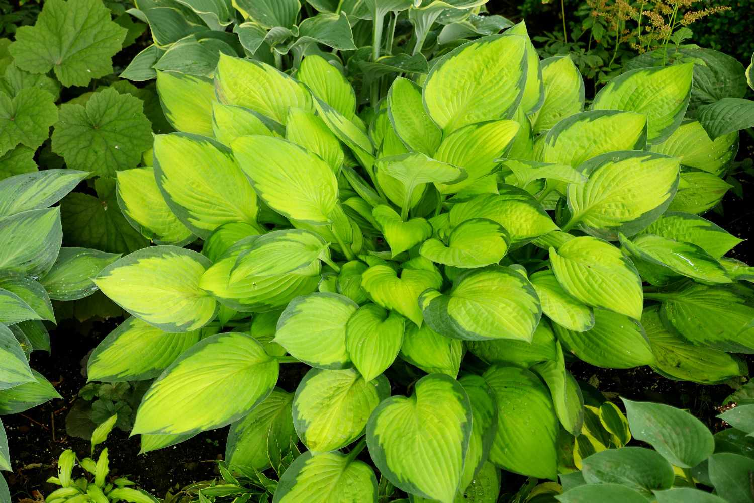 Plantain lily growing in garden.