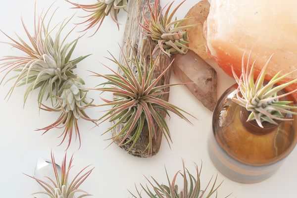 Varieties of air plants in shades of pale green and orange