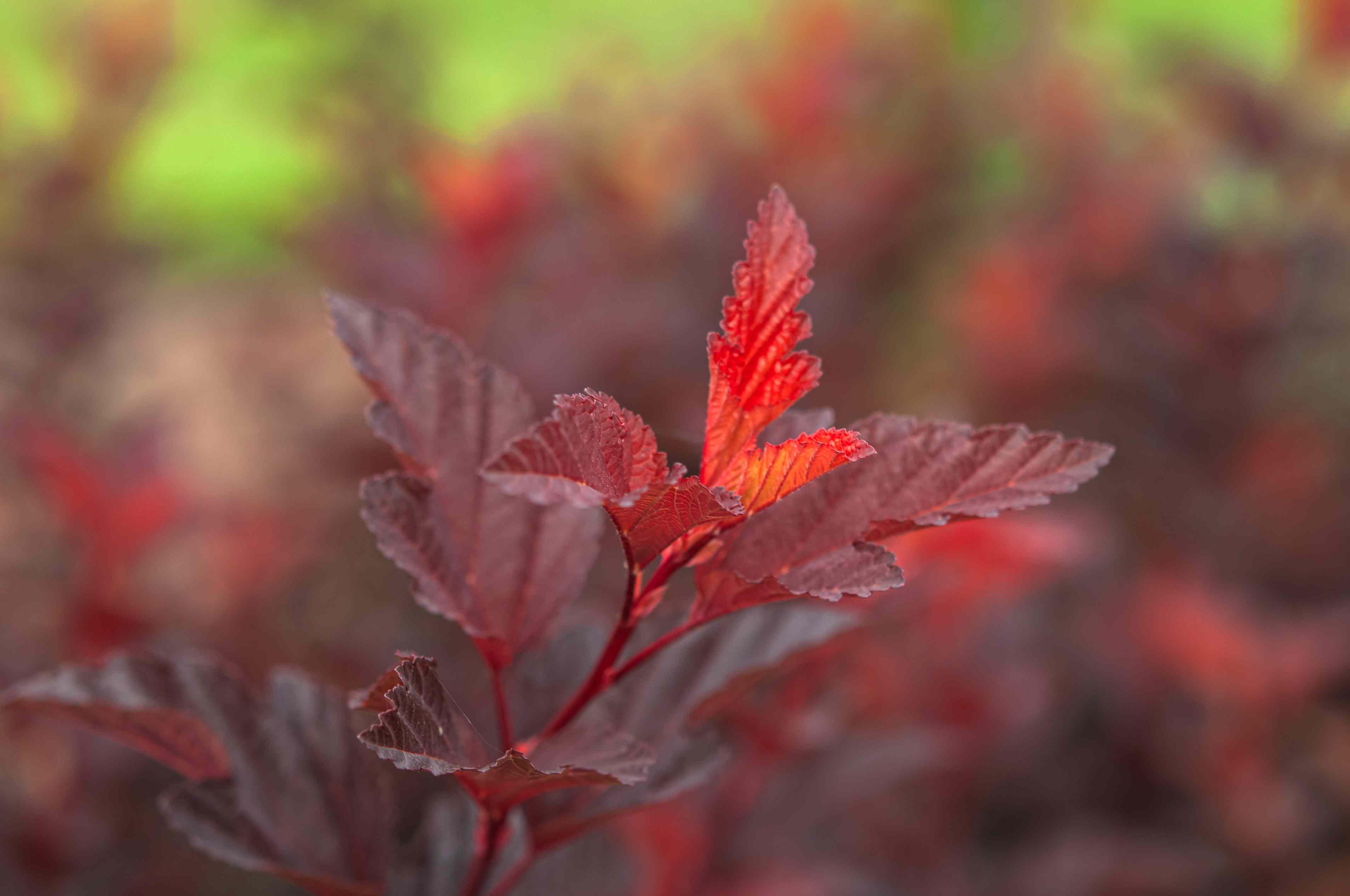 closeup of ninebark shrub leaves