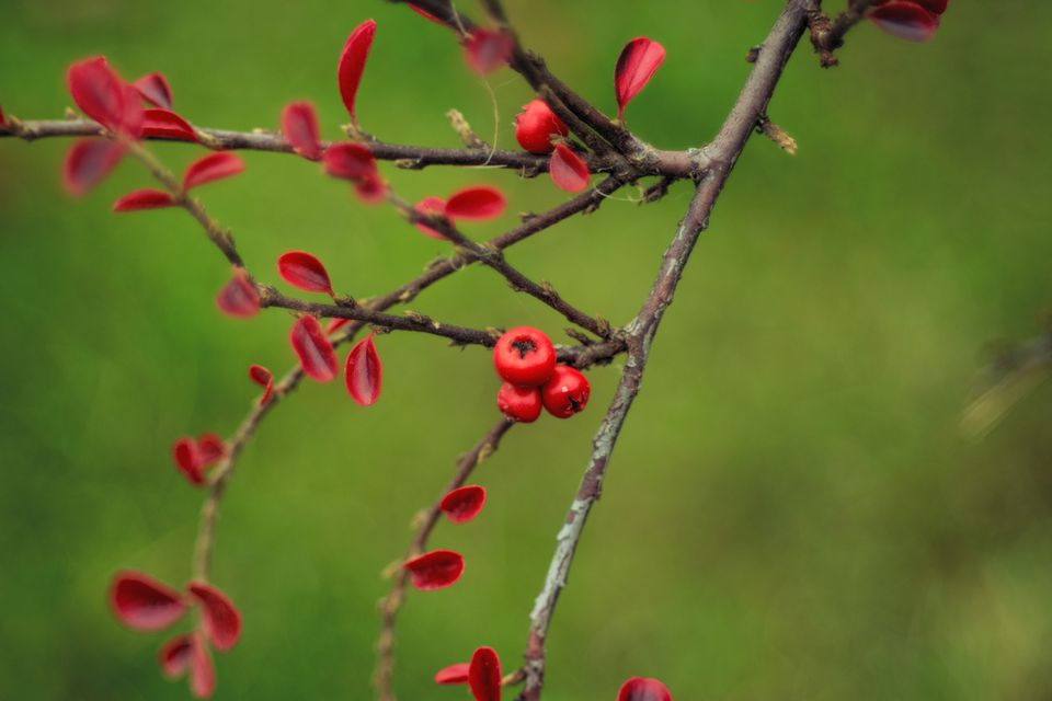 Close-Up Of Rockspray Cotoneaster Or Cotoneaster Horizontalis With Red Leaves And Berries Isolated On Green Background In Autumn
