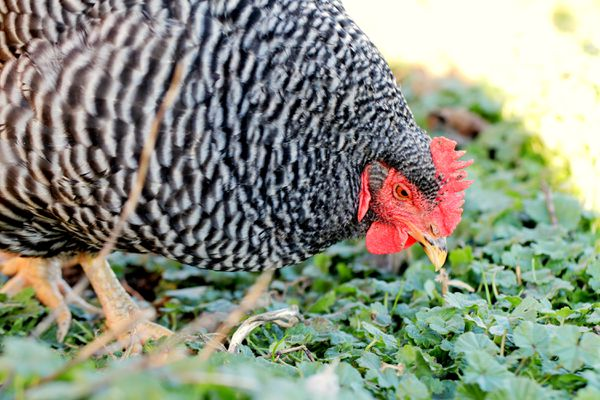 Plymouth or barred rock chicken