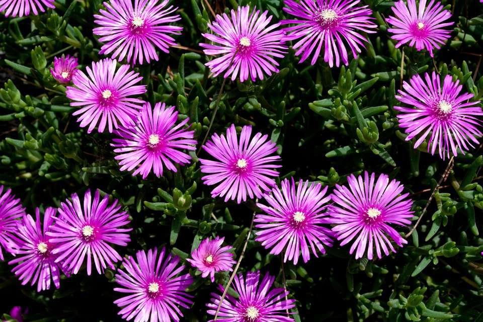 Lampranthus spectabilis flowers