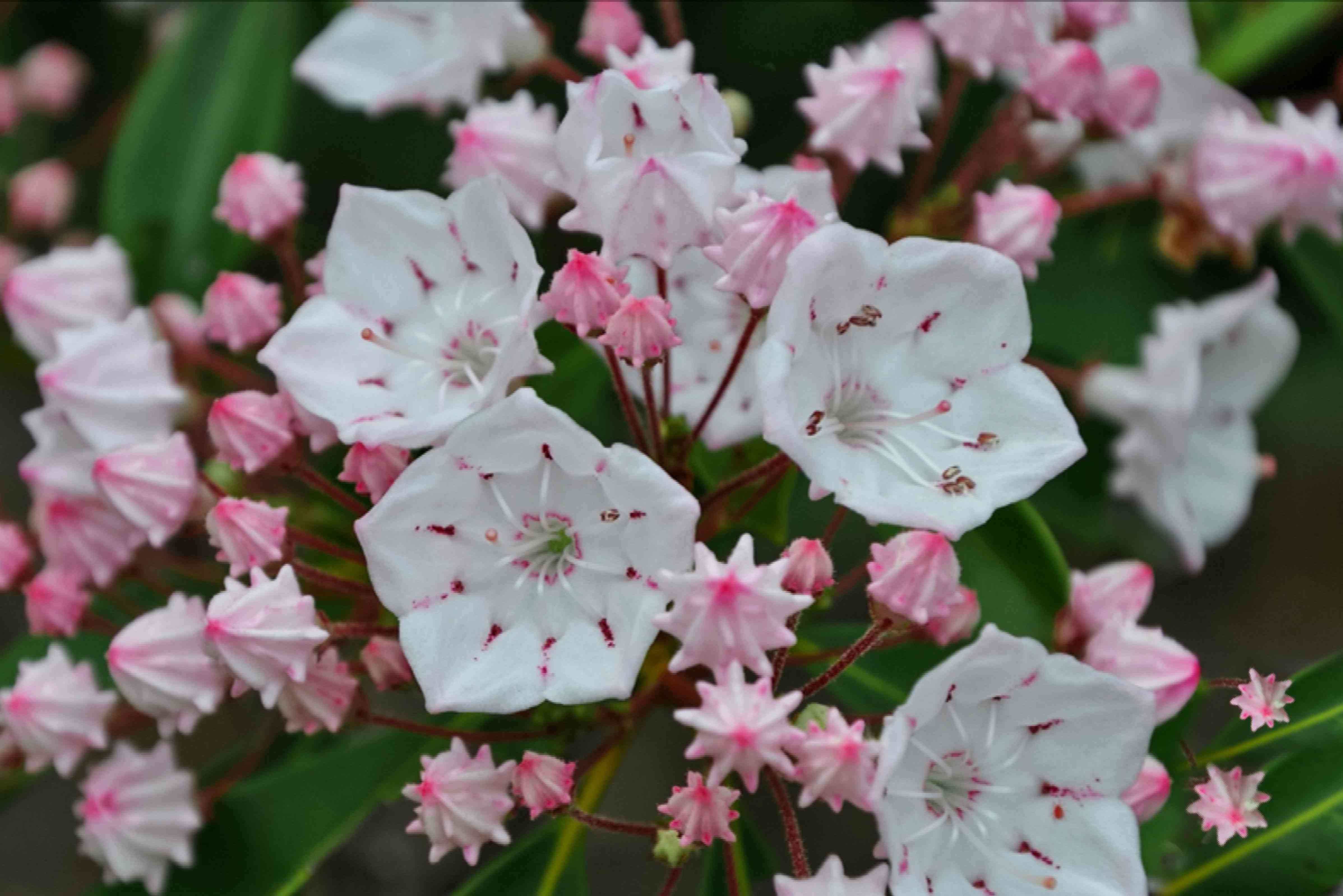 Mountain laurel bush branch with small white blossoms and pink buds clustered together closeup