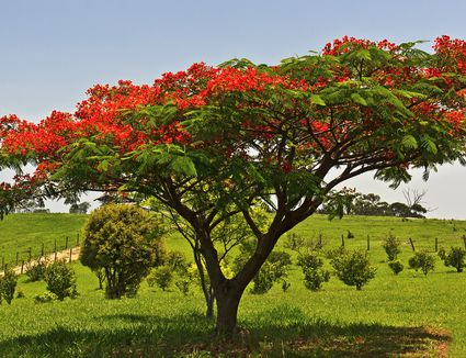 Jacaranda Tree Care And Growing Guide