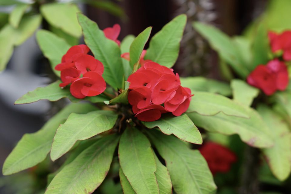 Crown of thorns plant with red flowers with thick bright green leaves