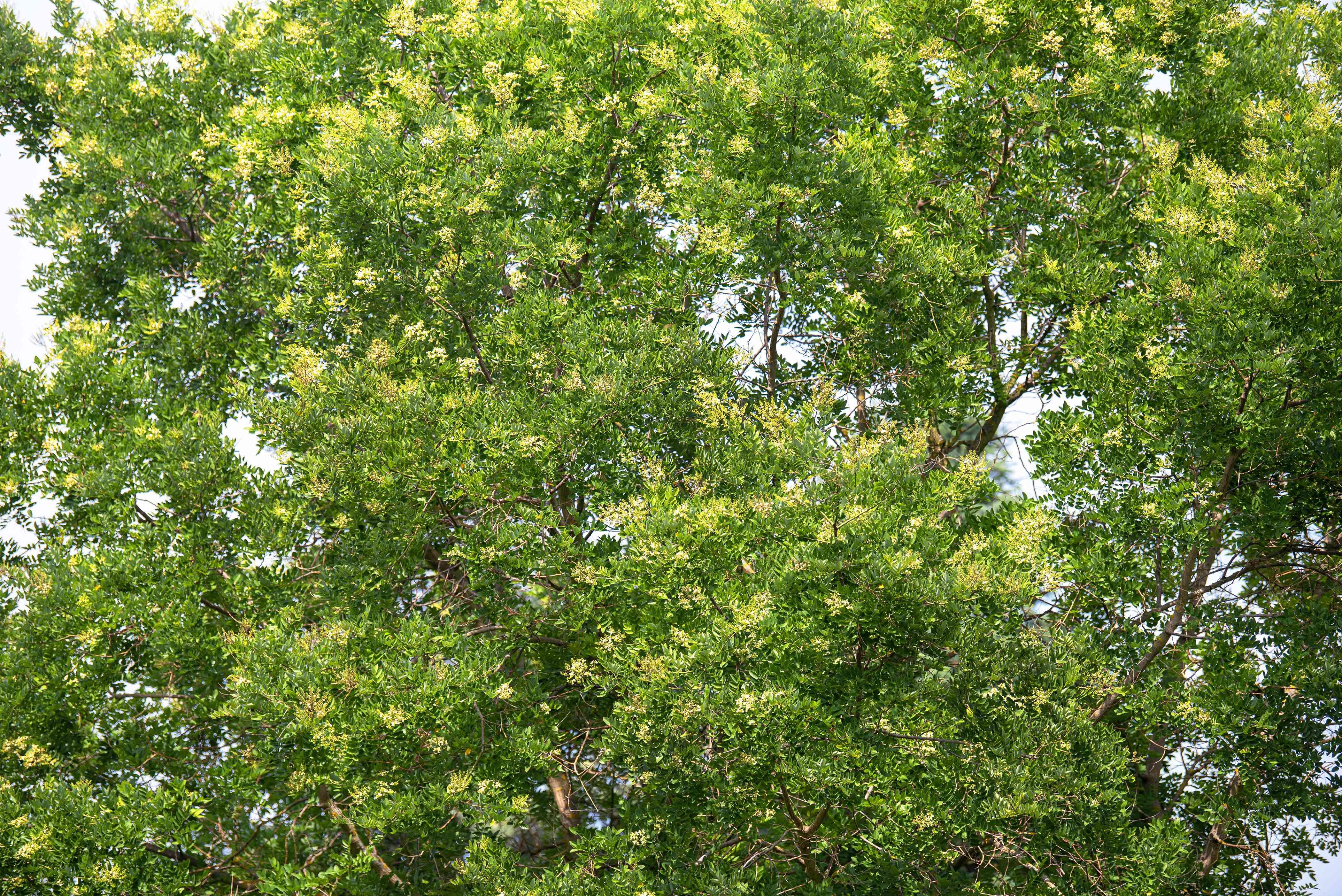 Japanese pagoda tree branches with bright green leaves and yellow flowers