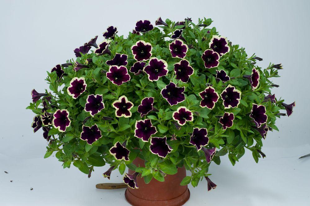 'Cascadias Rim Magenta' with cream-rimmed dark petals