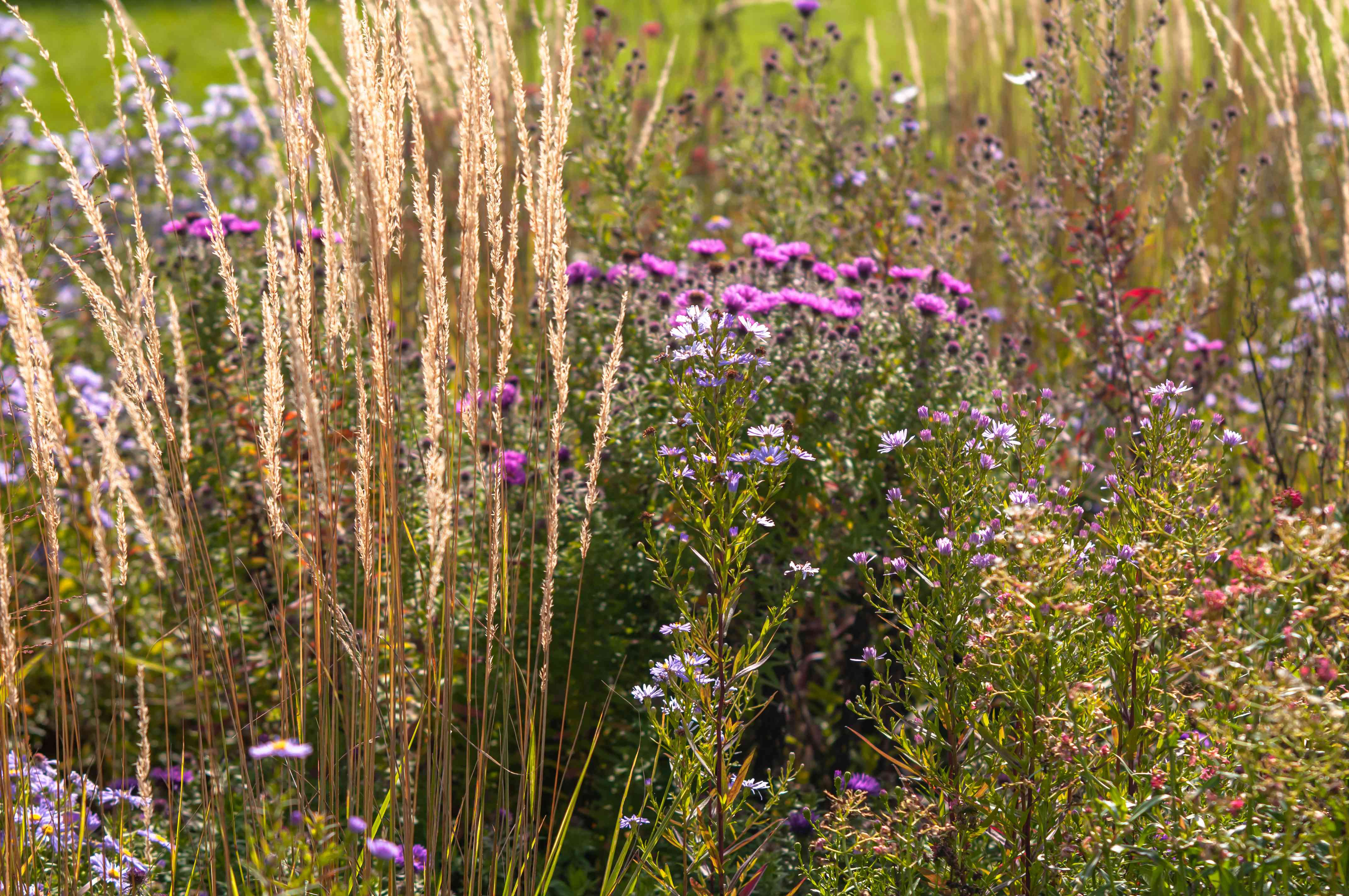 Feather reed grass next to wild flowers