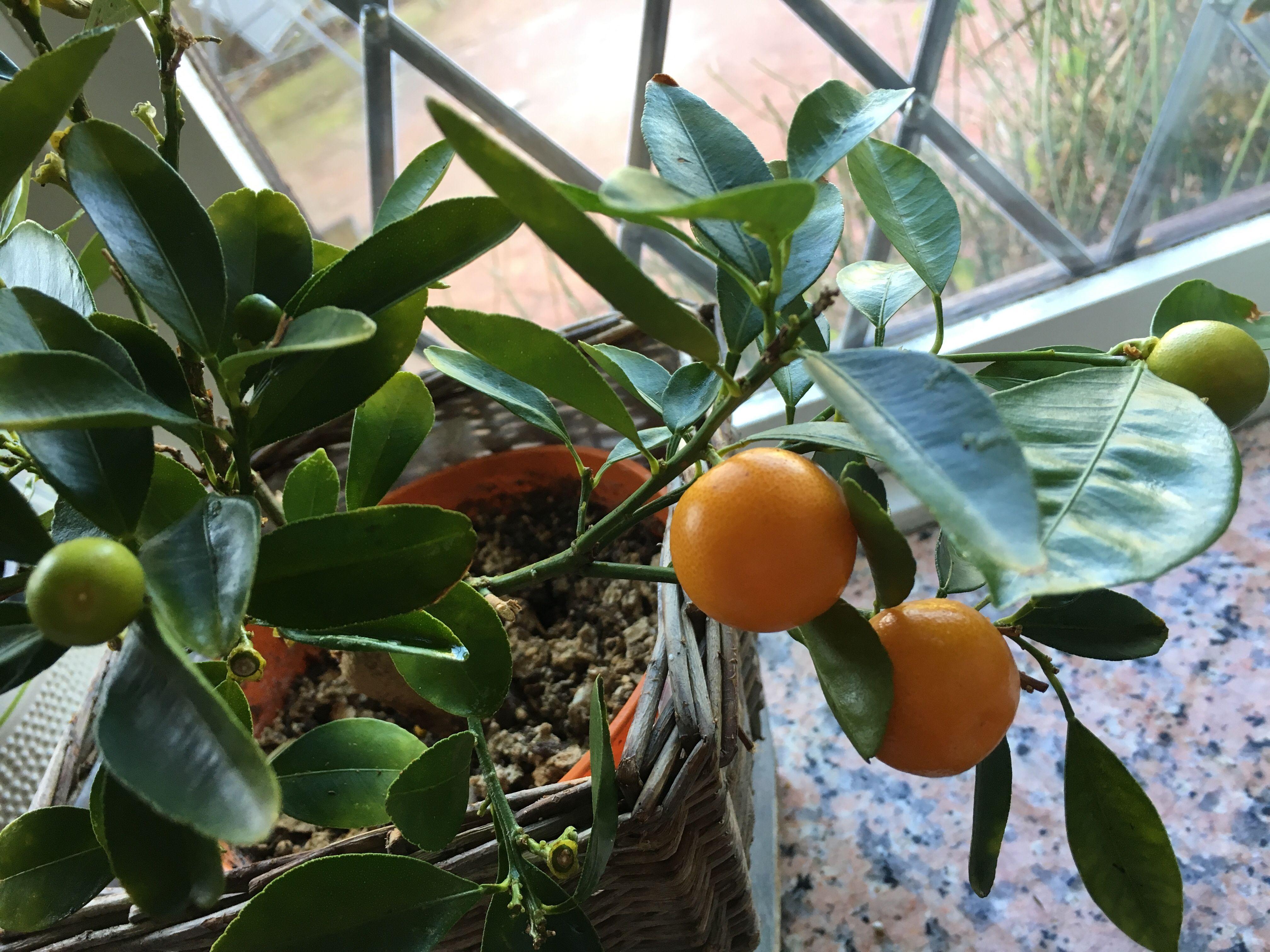 Calamondin Orange