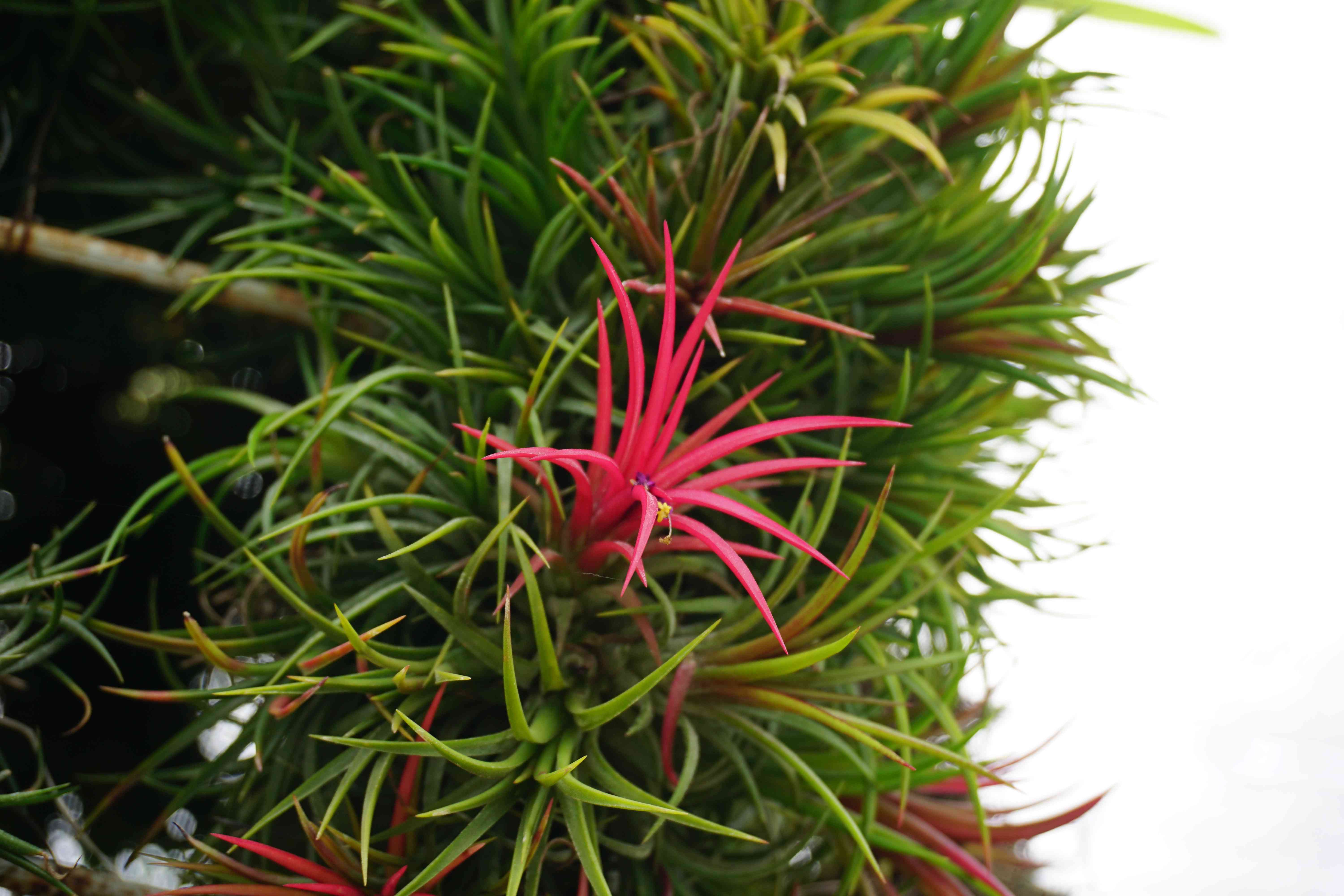 Giant Air Plant with green leaves and hot pink blooms