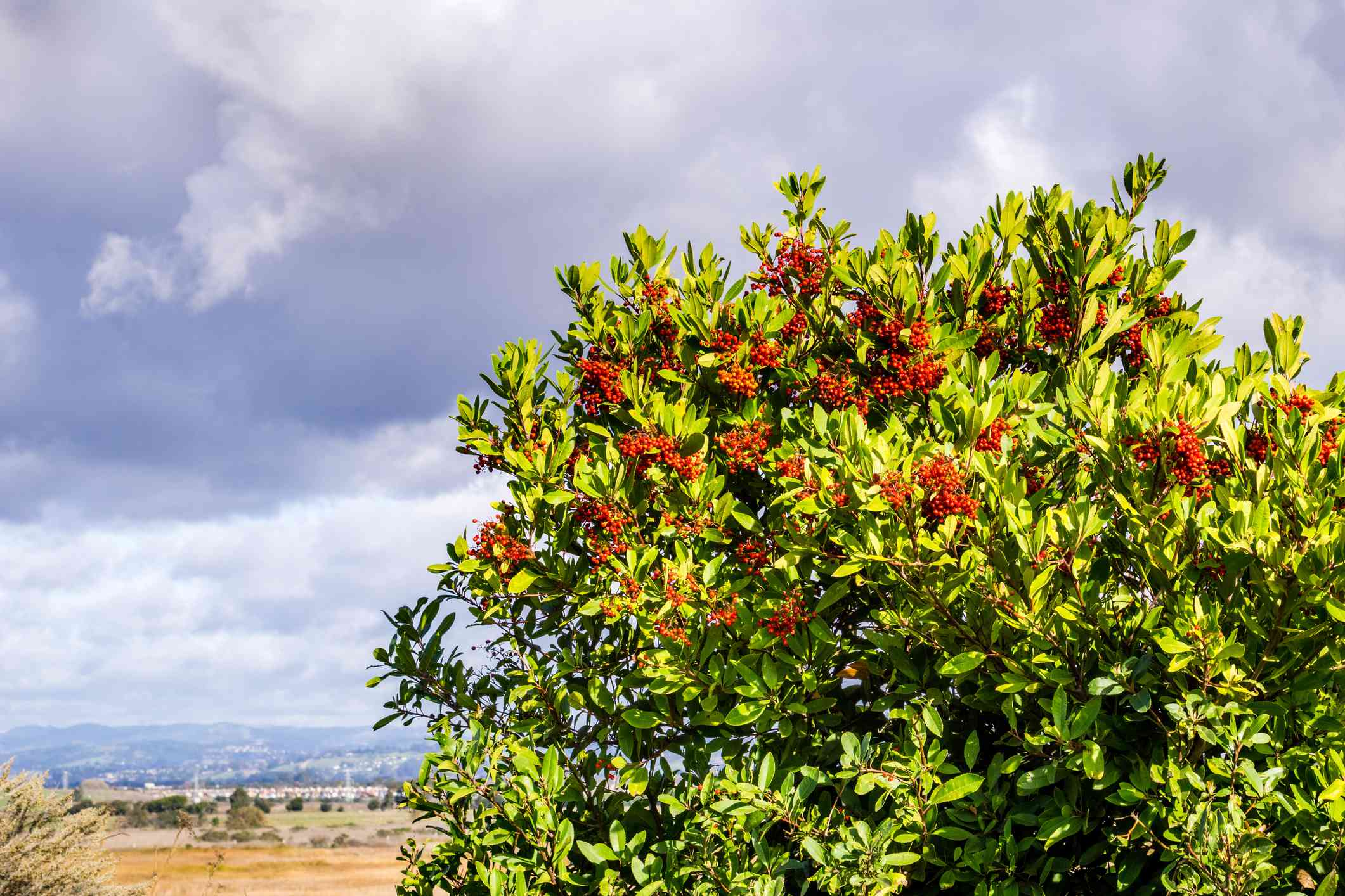Toyon (Heteromeles) shrubs full of red berries, Coyote Hills Regional Park, Fremont, east San Francisco bay, California