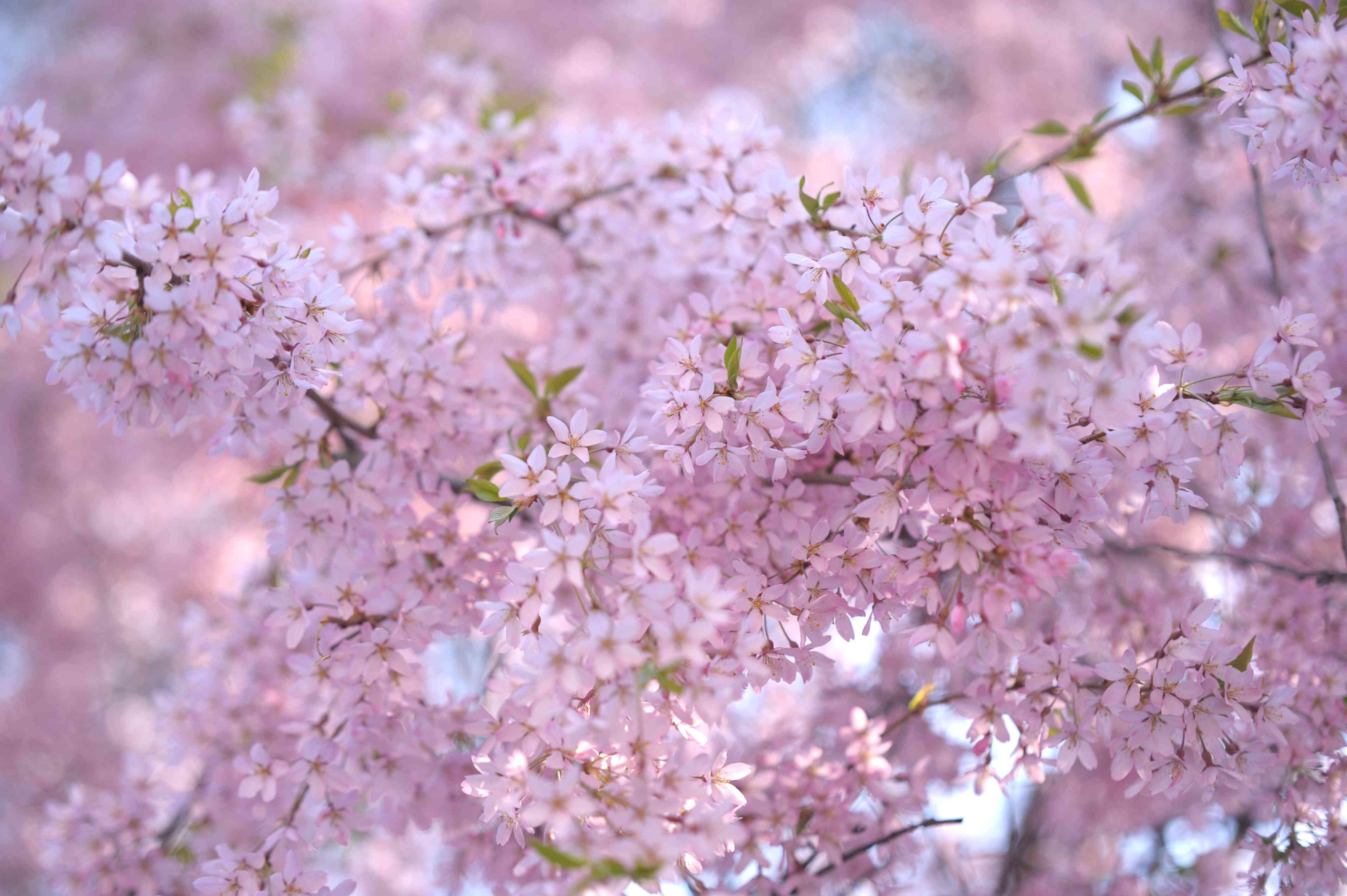Weeping cherry tree with pink blossoms closeup