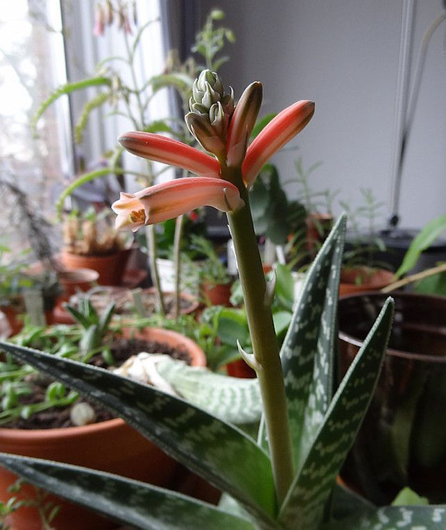 How to Grow and Care for Tiger Aloe