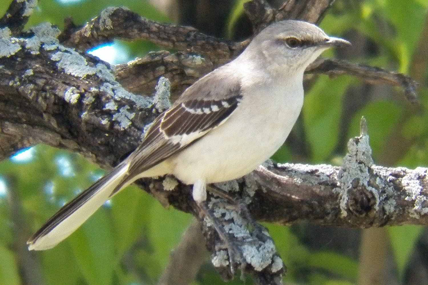 Northern Mockingbird, the state bird of Tennessee, on a tree branch.