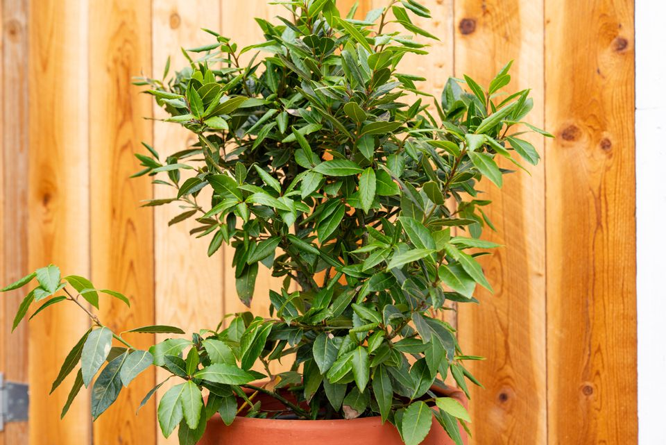 Bay laurel plant in orange pot with upward-growing branches