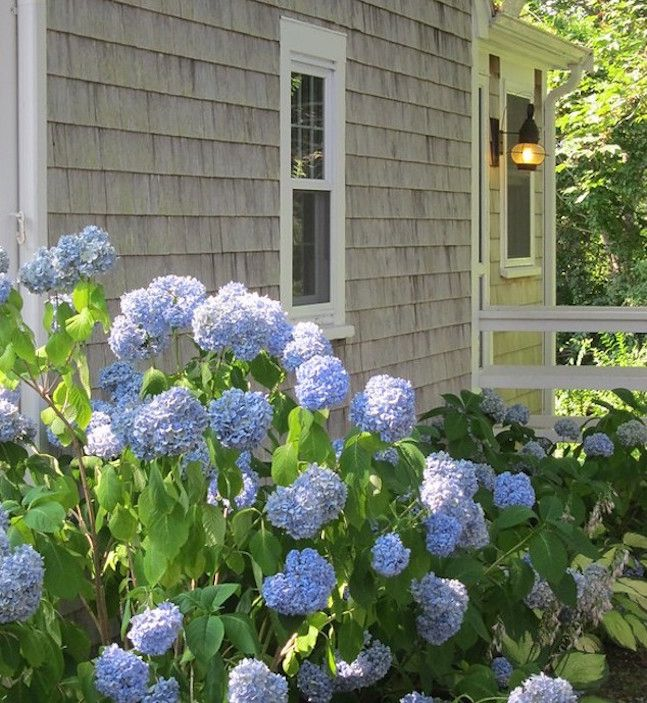 Blu hydrangeas blooming next to a grey weathered Cape Cod house