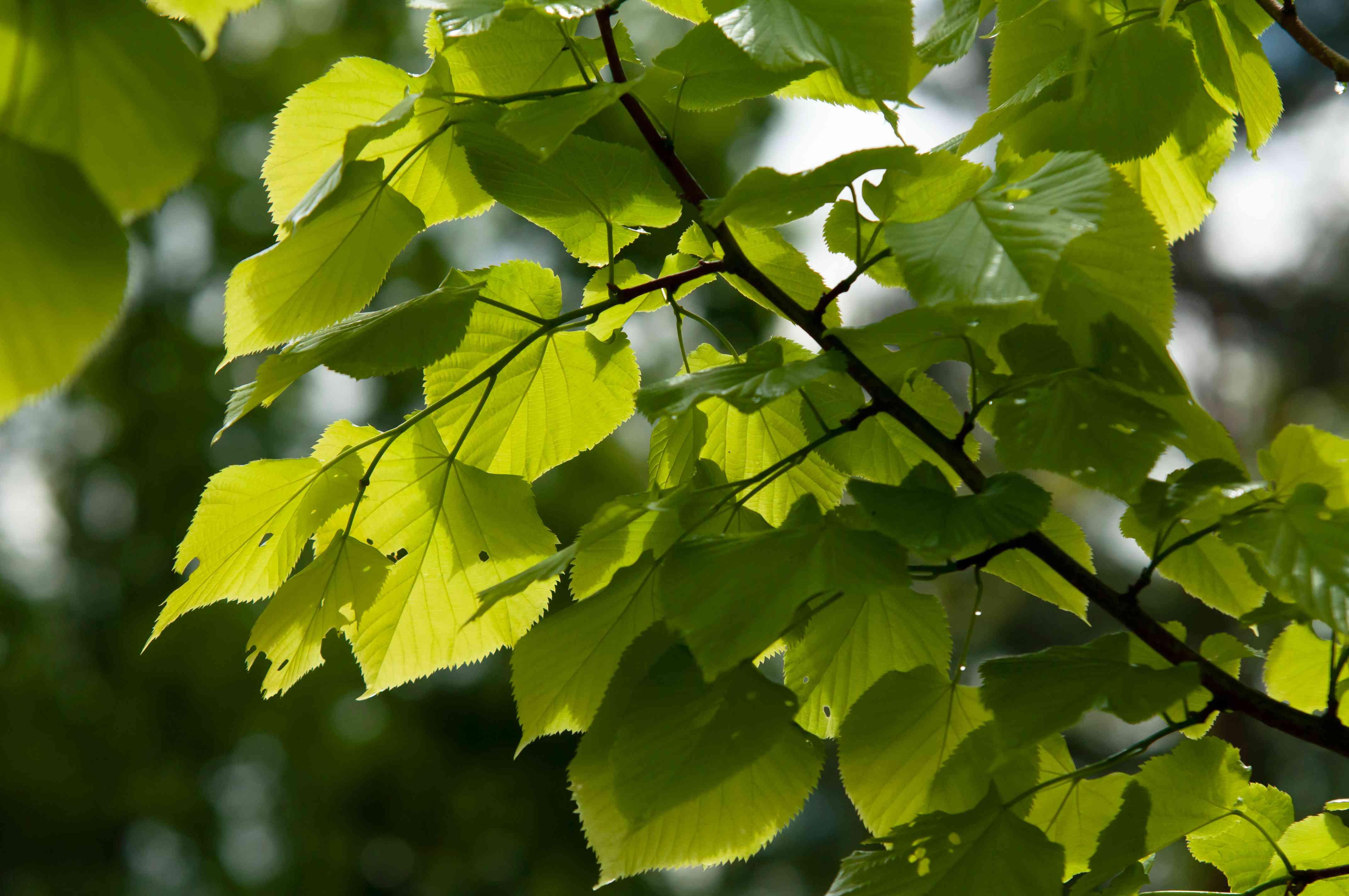 closeup of little leaf linden