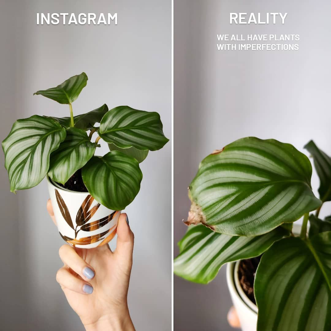 The Instagram photo of a Calathea vs the real-life look at the same Calathea with lots of crispy leaves