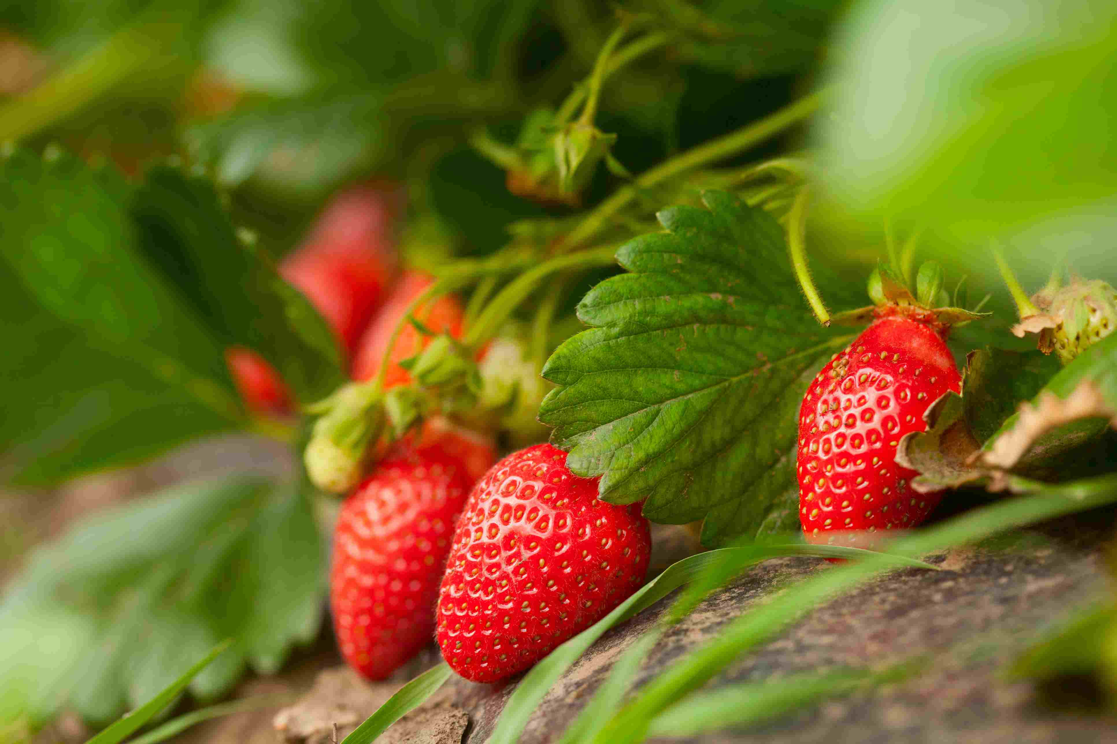 Several red strawberries growing on a plant.