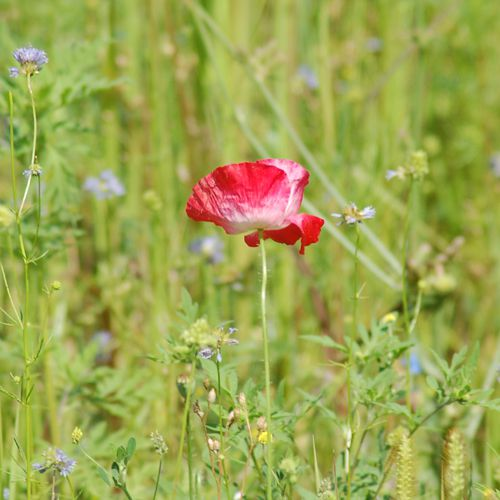Red poppy growing wild in a wildflower meadow