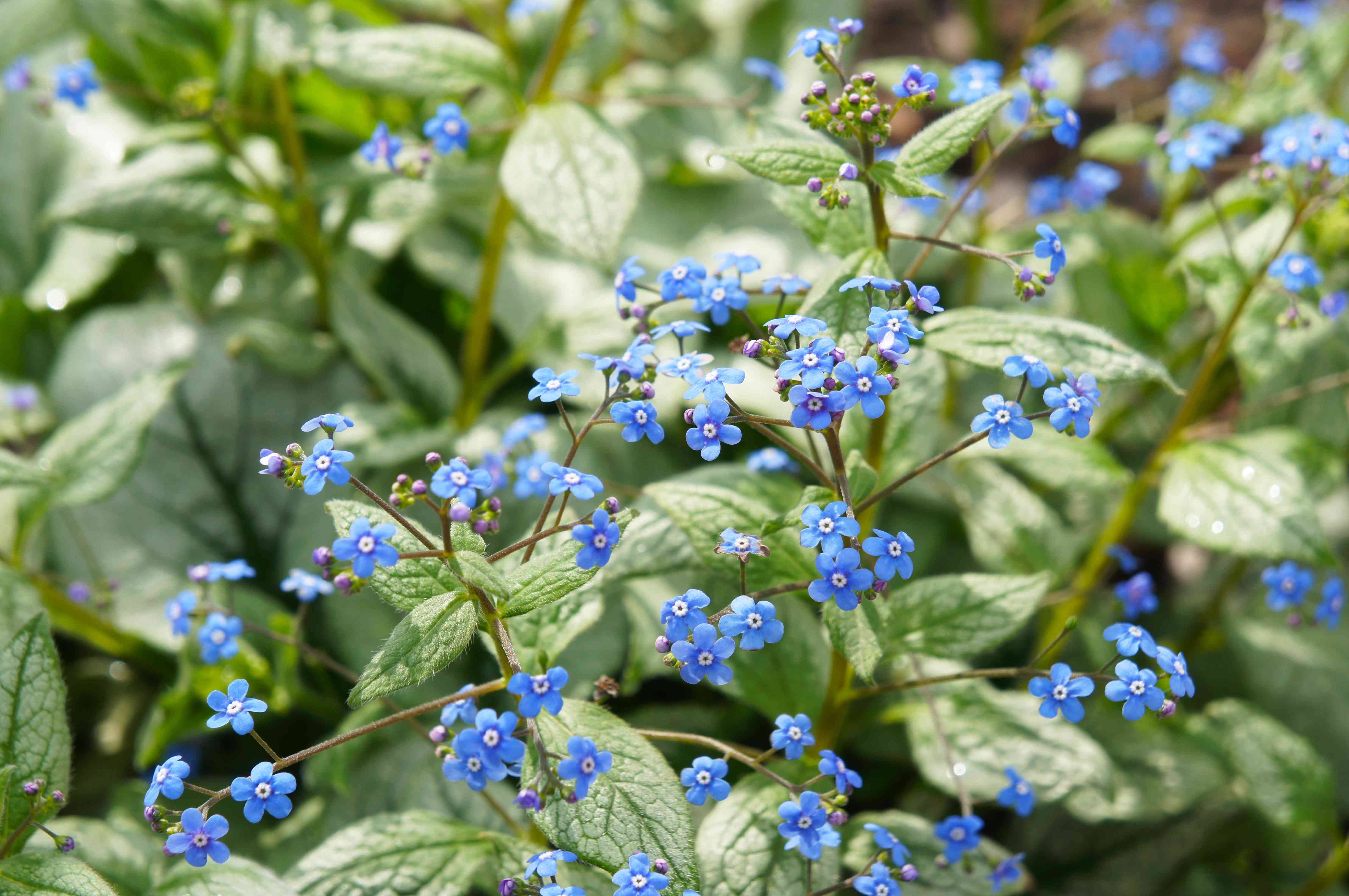 Brunnera macrophylla jack frost o siberian bugloss plant